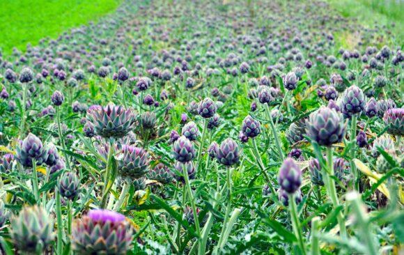 Il carciofo: un bocciolo di fiore dalle mille virtù