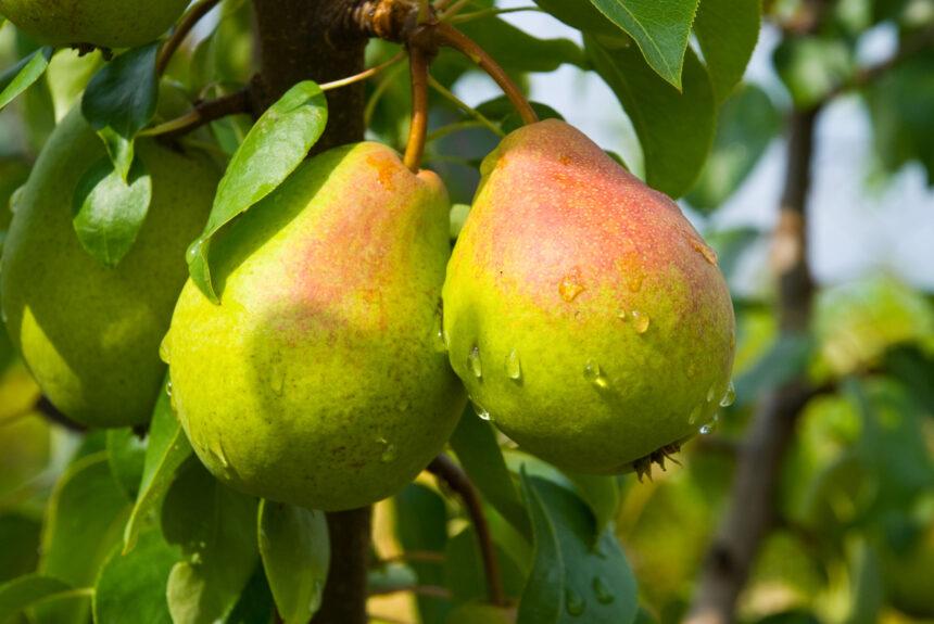 La pera, il frutto della nobiltà