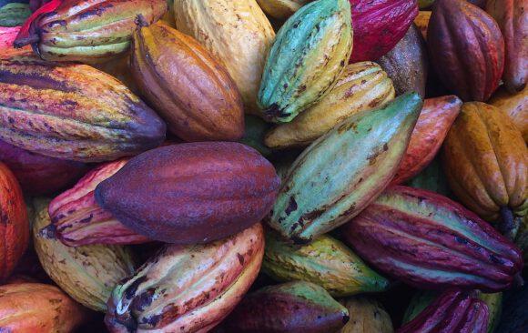 Cacao: un alimento brucia grassi